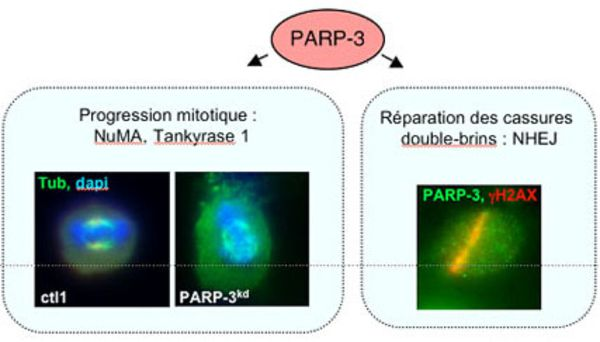 PARP3 and genome integrity